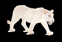 mô hình sư tử trắng cái